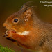 Red Squirrel (Sciurus vulgaris) by gcampbellphoto