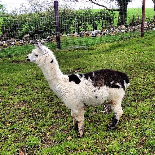 #llama? למה? ככה! #Glendeer #Athlone #Roscommon #Ireland