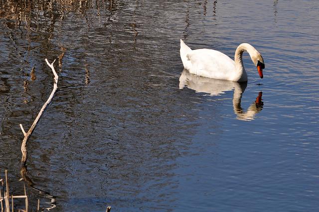 Swan Pondering