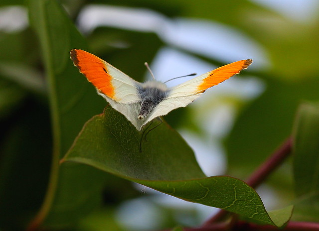 Orange Tip Butterfly about to take off
