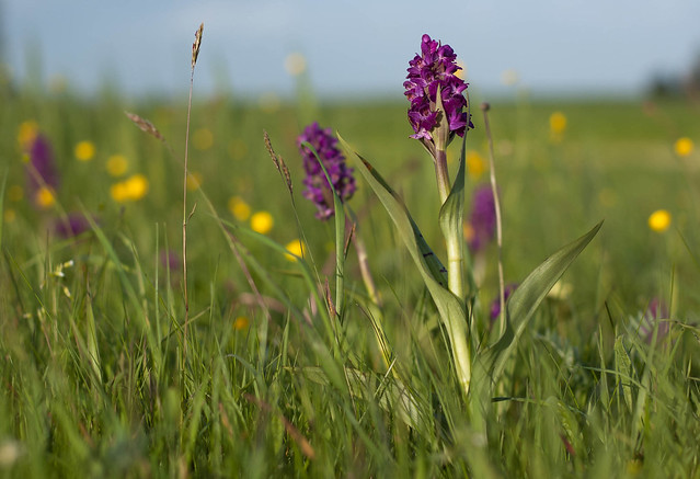 Broad-leaved marsh orchid - Dactylorhiza majalis subsp. majalis - Frouljustriennen - Brede orchis