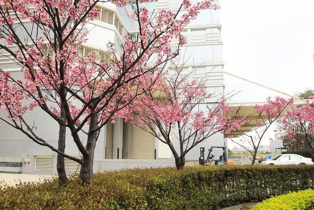2015 01 31 桃園.龜山.華亞科技園區.禾聯碩科技.寒櫻(100%-三)