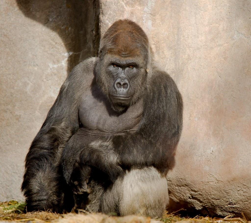 Gorilla (Hominidae)_2
