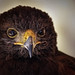 Harris's hawk (Parabuteo unicinctus) (I) by Abariltur