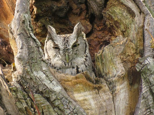 texas owl texasbirds esterollanograndestatepark canonpowershotsx60 easternsretchowl