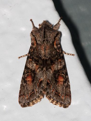 usa oregon moths
