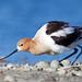 American Avocet by Thy Photography