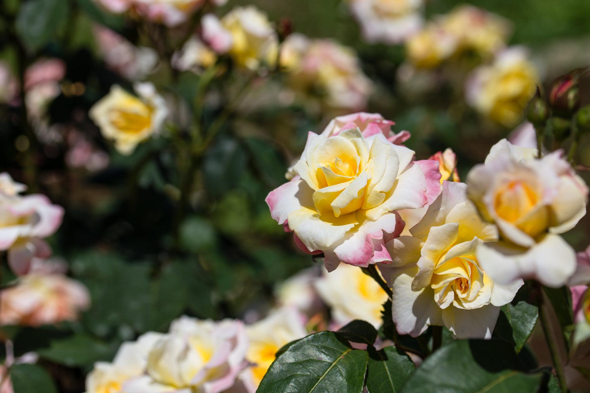 2016-05-18 神代植物公園 001-6