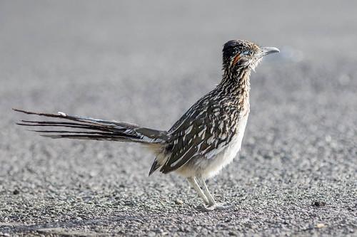 birds unitedstates nevada reno rare roadrunner