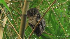 Mottled Owl (Strix virgata) Palenque, Chiapas
