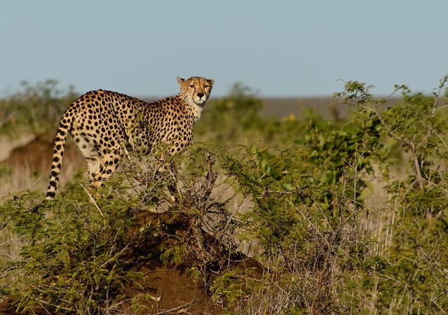 Kruger National Park, South Africa - Marvelous Cheetah