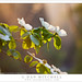 Dogwood Flowers, Sunset Light