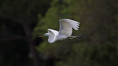 Great Egret flying wings raised