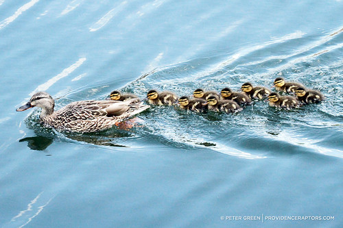 10 ducklings with mom by doubleagent via I {heart} Rhody