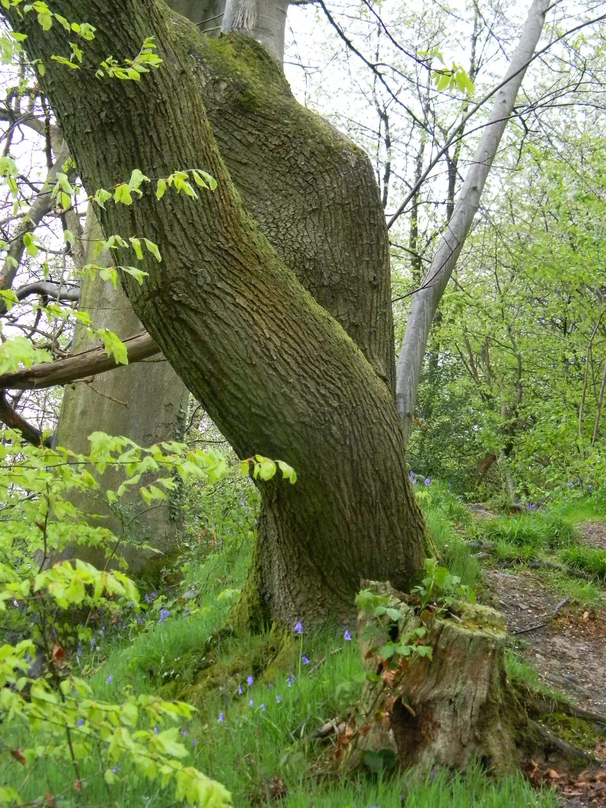 Twisted trees Borough Green to Sevenoaks (composite walk)