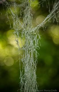 lace lichen in morning light, three strands draped together