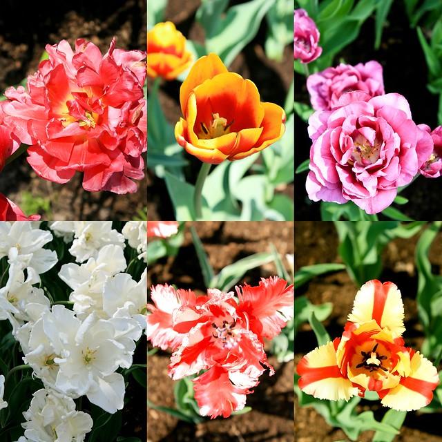 tulpiu ziedai