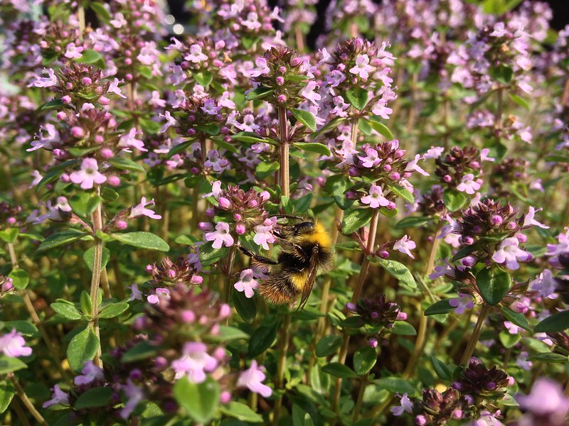 Bumblebee on thyme flowers
