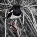Oriental Magpie Robin by bibekthecrony