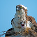 Osprey & Chick by Brian E Kushner