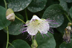 Capparidaceae