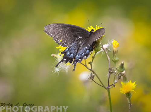Female Black Phase Tiger Swallowtail by Ricky L. Jones Photography
