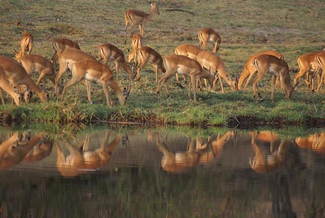 Impalas en Imbabala