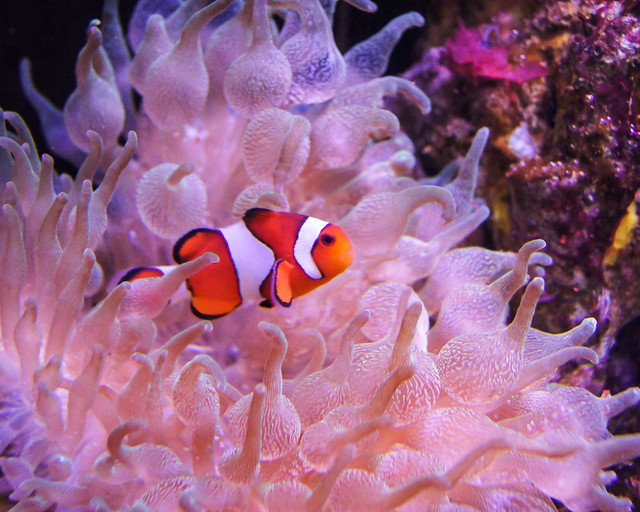 Clownfish, Clown Fish,  anemone,  anemonefish, Orange, White, Fish