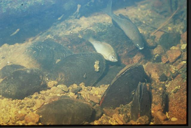 アブラボテはカワシンジュガイの貝の中に産卵する.産卵期のメスは長い産卵管を持っていることも教えていただいた.