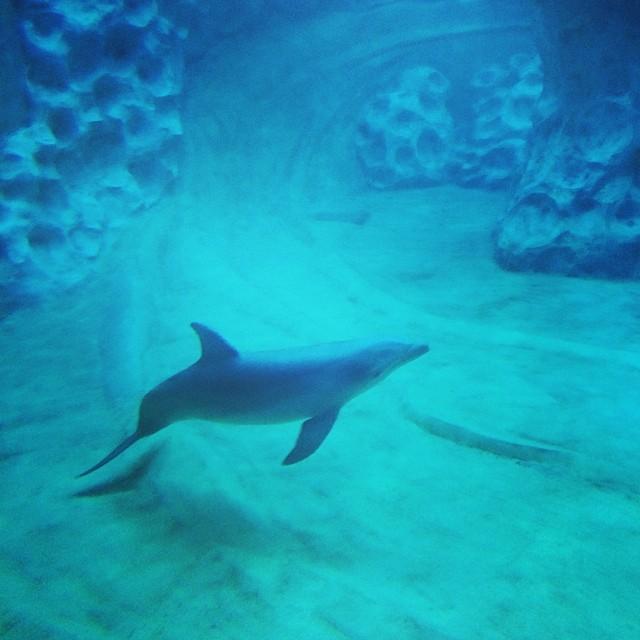 Pretty #dolphin after the show. #aquarium #georgiaaquarium #blue #familyvacation