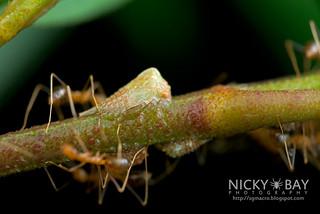 Ants milking treehopper (Membracidae) - DSC_4507