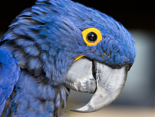 Blue Hyacinth Macaw by San Diego Shooter