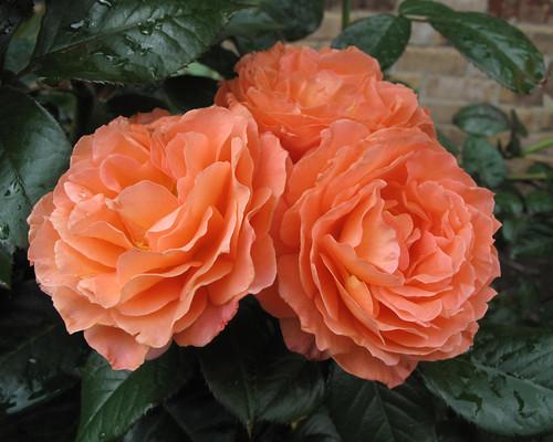 Belvedere-rose show 2