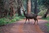 Sambar deer - On alert
