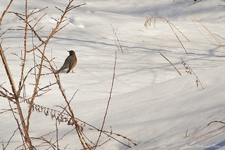 Winter Robin_9590
