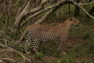 Femelle Léopard Afrique du Sud