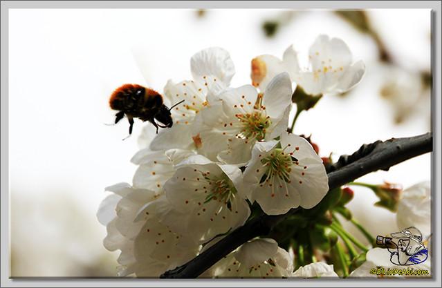7 Valle de Caderechas Floración de los cerezos