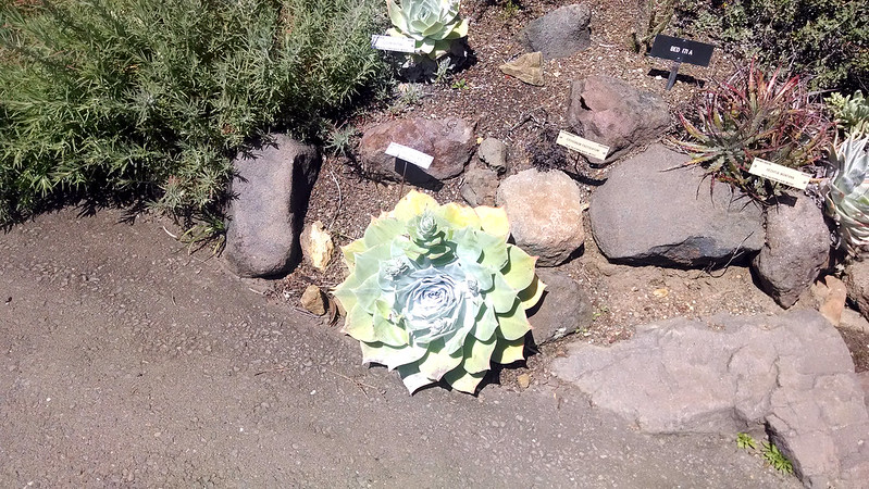 Large Dudleya pulverulenta at the UC Botanical Garden.