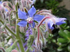 Borage, another view