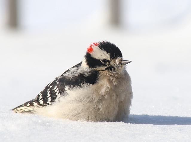 iheartcountry - Snowy Woodpecker