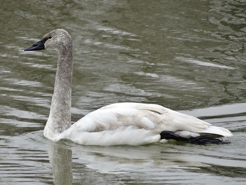 winter bird virginia swan farmville rare trumpeterswan cygnusbuccinator wilckslake