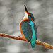 Kingfisher by forbesimages