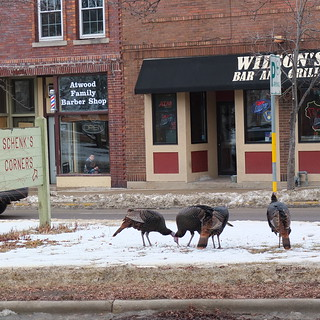 The Turkeys of the Near East Side, Madison, WI