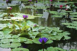 Lotus Pond No.1