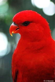 Red Lory - Eos bornea or Eos rubra