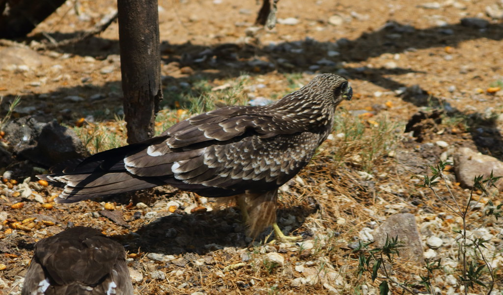 Black Kite, juvenile