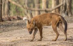 Wild Dog - Pench Tiger Reserve, Madhya Pradesh