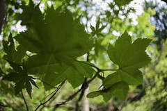 _MG_4816 / Vine Maple