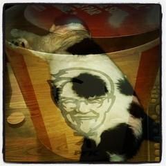 #bucketofchicken #bigboned #catsofinstagram