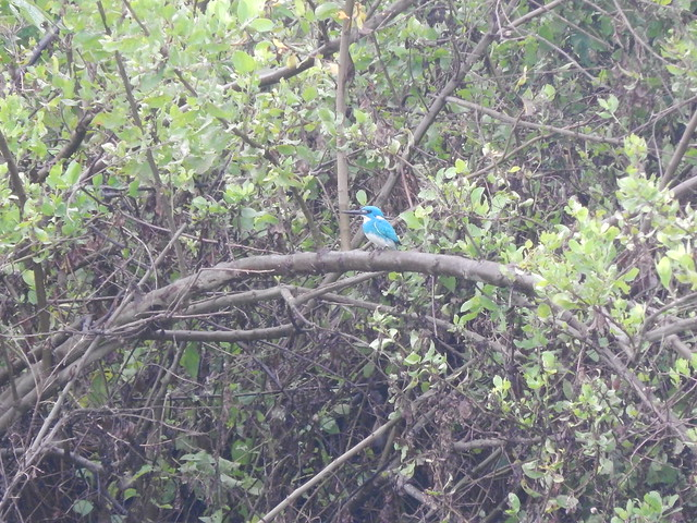 Raja-udang biru